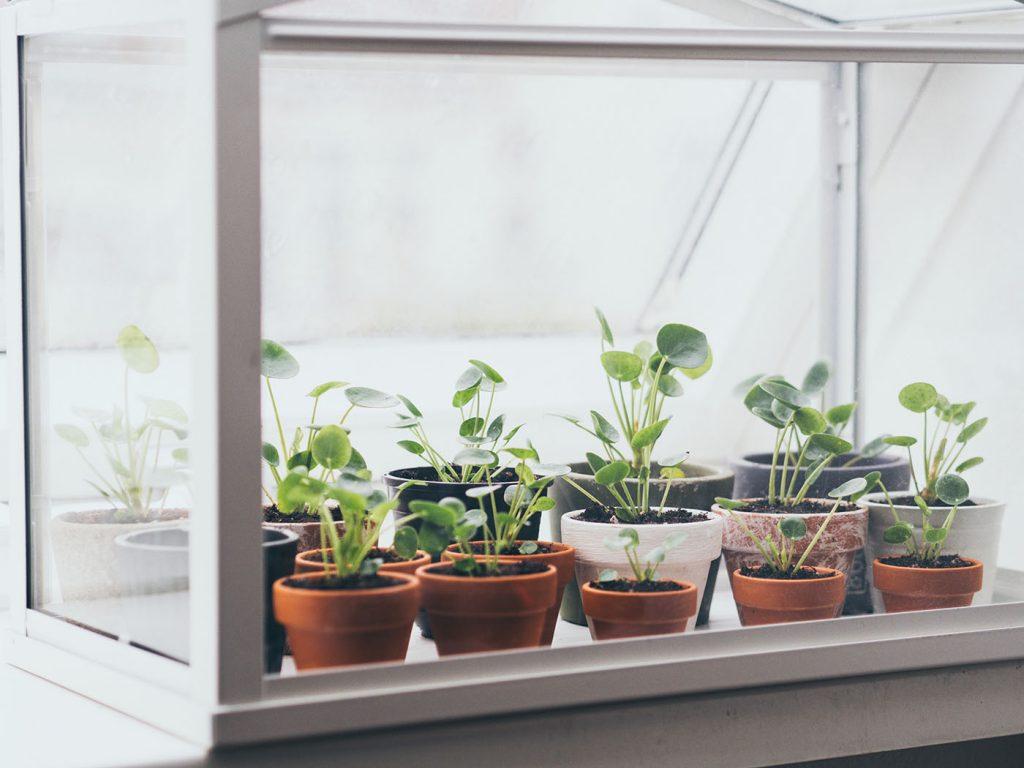 Ufopflanze vermehren