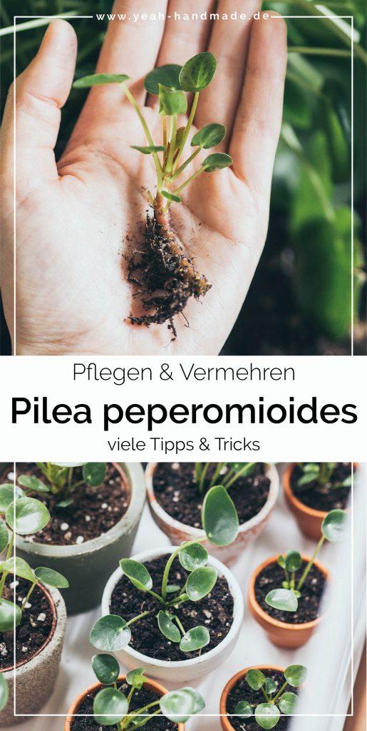 Pilea pflegen und vermehren mit Stecklingen